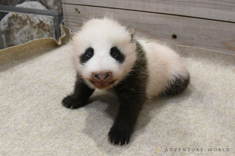 赤ちゃん パンダ の