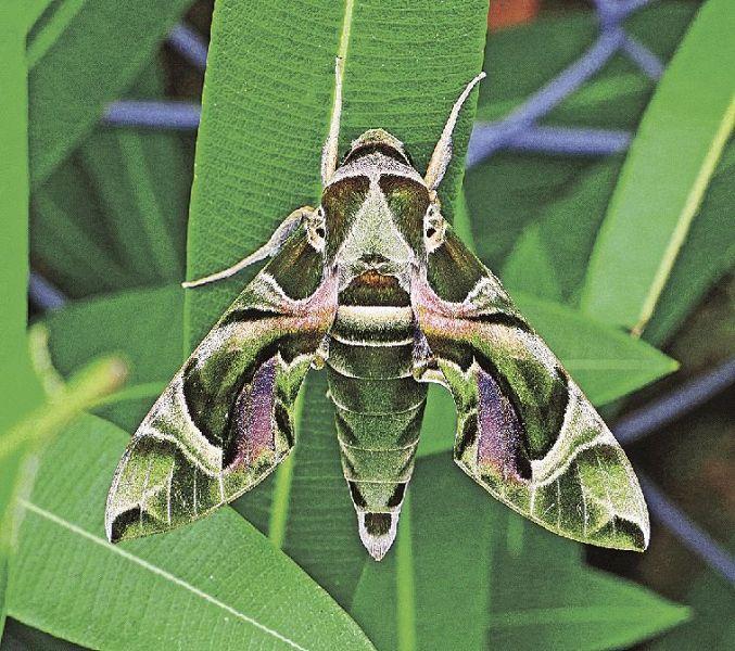 キョウチクトウの画像 p1_29